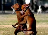 Pitbulls Fighting